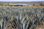 Campos de agave en Corralejo
